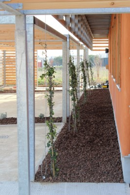 Plantations : jasmin